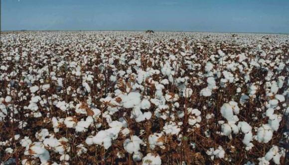 Custo de produção do algodão registra queda consecutiva em MT