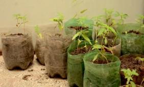 Onze mudas de maconha foram encontradas no local - Foto: Varlei Cordova / AGORA MT