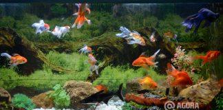 Peixe em aquário - Foto: Varlei Cordova / AGORA MT