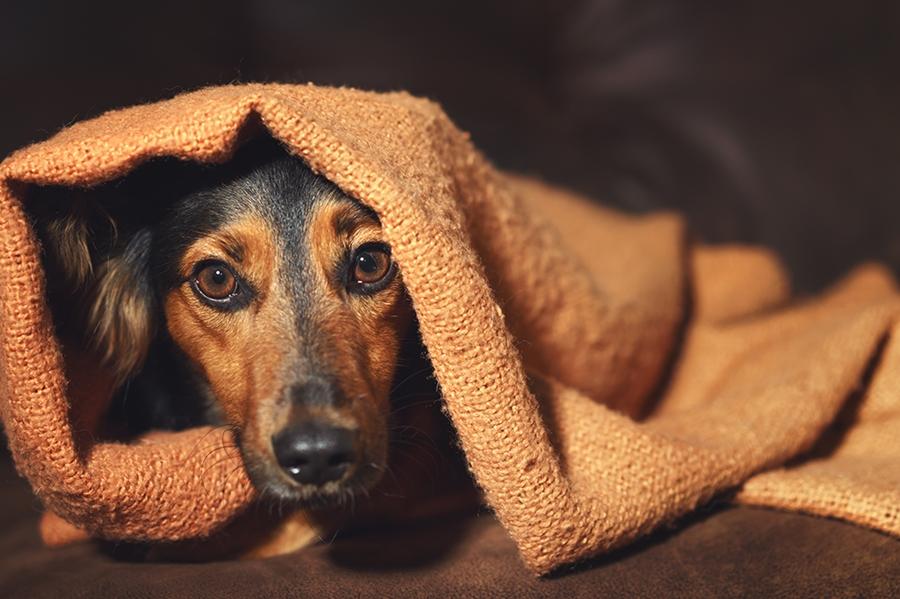 Cão se escondendo de fogos de artifício - Foto/Reprodução