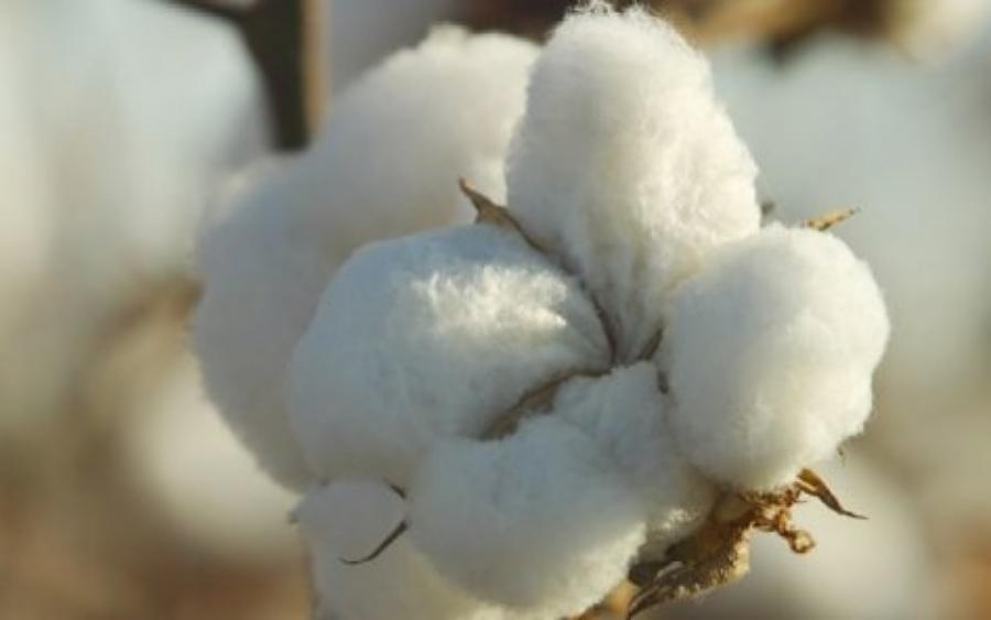 Imagem: algodão
