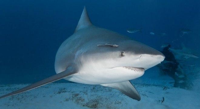 Imagem: Tubarao Um terço das espécies de tubarões e arraias está ameaçada de extinção