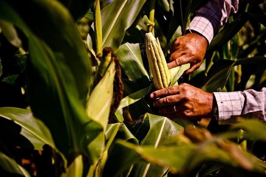 Imagem: Milho agricultrura Governo de MT prevê investimento de R$ 265 milhões para ações na área de Agricultura Familiar