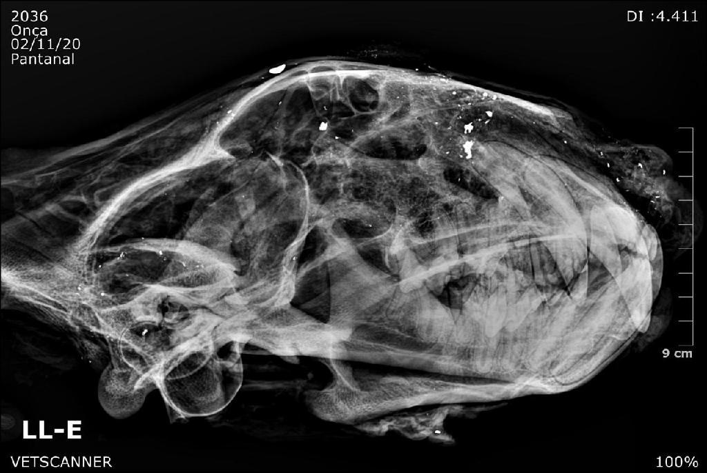 Imagem: ONCA Radiografia mostra estilhaço de bala na cabeça de onça em MT