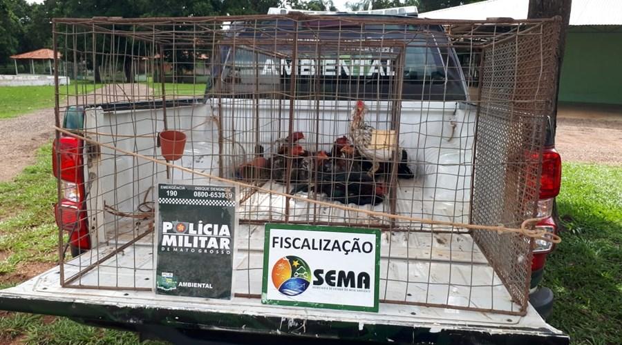 Imagem: Galos de briga apreendidos pela Policia Ambiental e sema Polícia resgata 8 galos de rinha em Rondonópolis