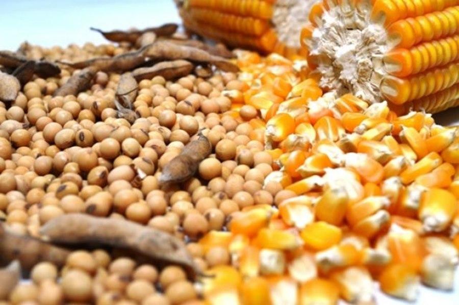Imagem: SOJA MILHO Preços de Soja e Milho deverão se manter elevados