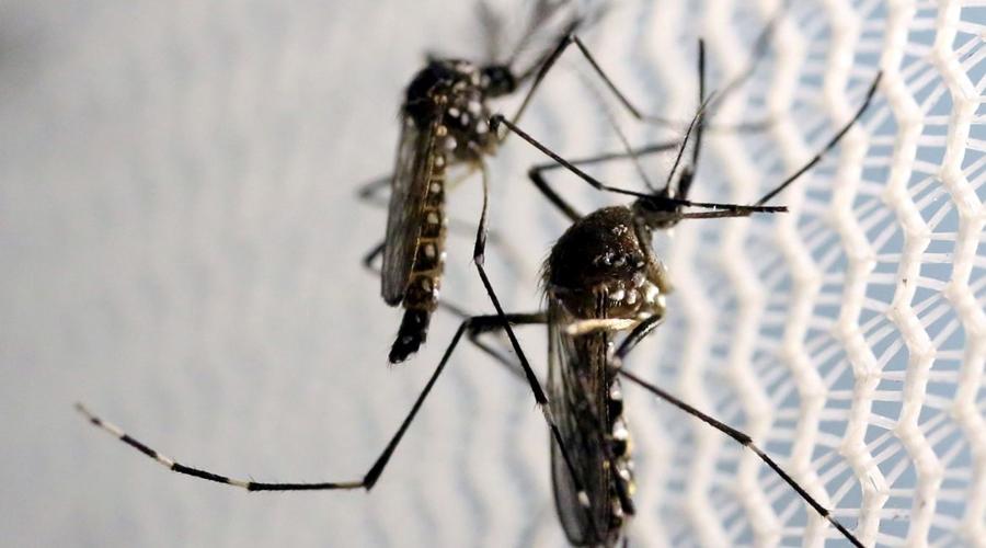 """Imagem: mosquitos aedes aegypti dengue Acordo prevê """"fábrica de mosquitos"""" para combater dengue em Brumadinho"""