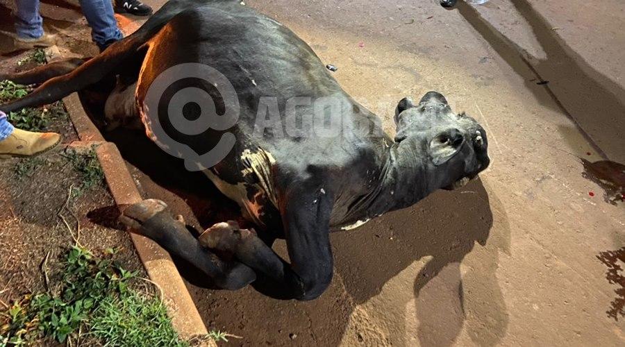 Imagem: Vaca nao resistiu e morreu Vaca leiteira invade pista e morre em acidente