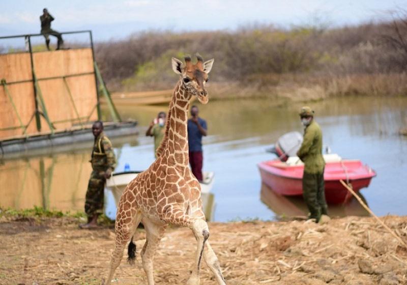Imagem: Girafas capturadas Girafas são resgatadas por voluntários de ilha inundada no Quênia