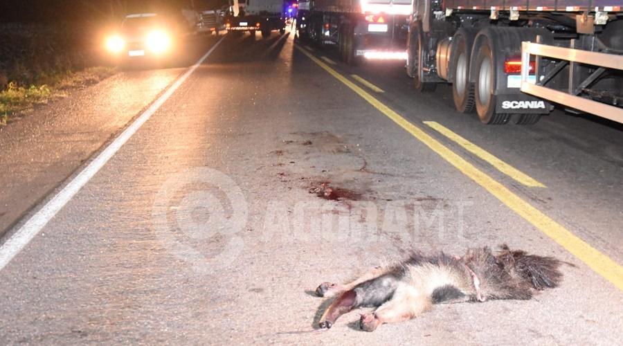 Imagem: Tamadua atropelado na BR 364 Atropelamento seguido de capotamento causa acidente com caminhão na BR - 364