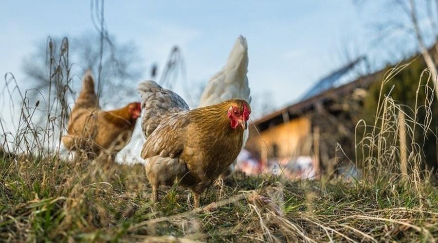 Imagem: galinhas EUA pedem que população pare de beijar galinhas para evitar salmonella
