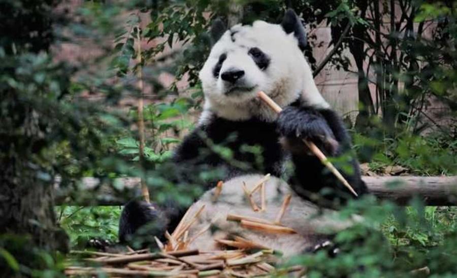 Imagem: panda gigante Conheça os cinco animais que estão ameaçados de extinção