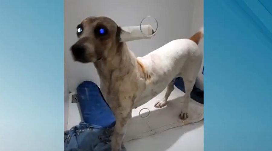 Imagem: Cachorro operado e recuperado Projeto prevê que agressores de animais paguem por tratamento