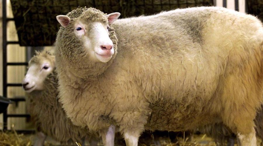 Imagem: 2002 01 04t120000z 415831564 pbeahukvfda rtrmadp 3 dolly 0 Primeiro mamífero clonado, Dolly completaria hoje 25 anos