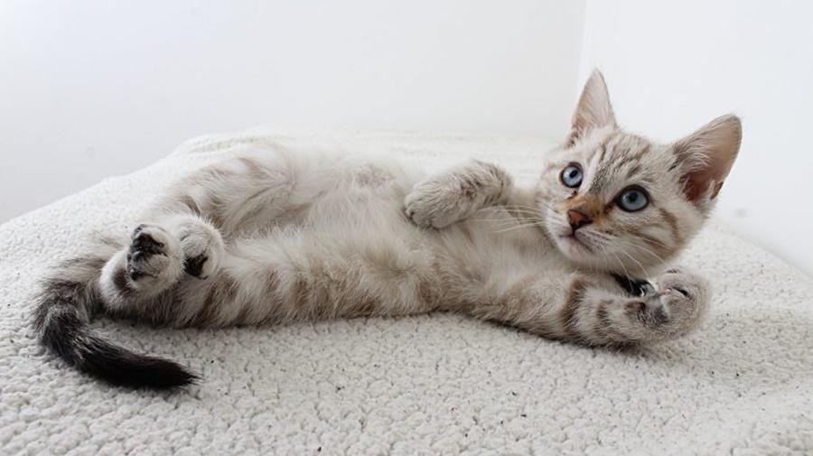 Imagem: Gatos Nutrição adequada pode ser forte aliada na saúde e bem-estar dos felinos