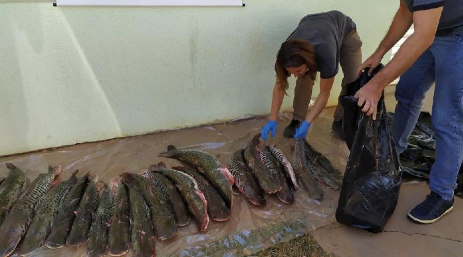 Imagem: PESCADO 1 Cerca de 100 kg de pescado irregular são apreendidos durante fiscalização