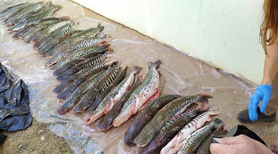 Imagem: PESCADO Cerca de 100 kg de pescado irregular são apreendidos durante fiscalização