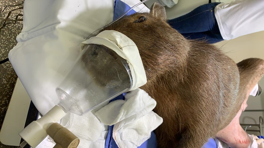 Imagem: capivara Capivara resgatada na BR-163 passa por cirurgia ortopédica