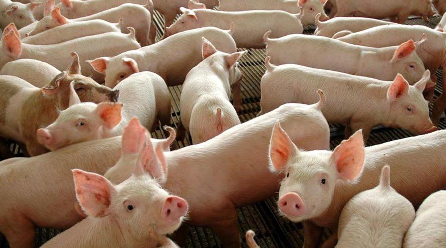 Imagem: porcos Controle da peste suína africana na China segue complicado