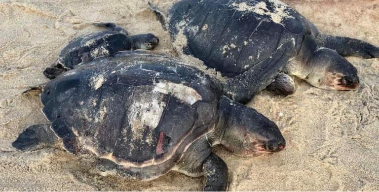 Imagem: tartaruga Naufrágio de navio pode ter causado morte em massa de tartarugas-marinhas