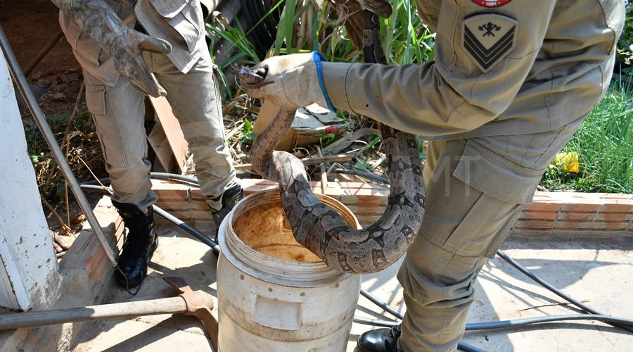 Imagem: Captura de cobra em Rondonopolis Jiboia de aproximadamente 1 metro é encontrada em quintal de casa