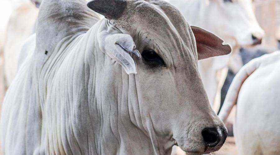 Imagem: prodeic para carne bovina Conselho aprova aumento de incentivos fiscais para carne bovina