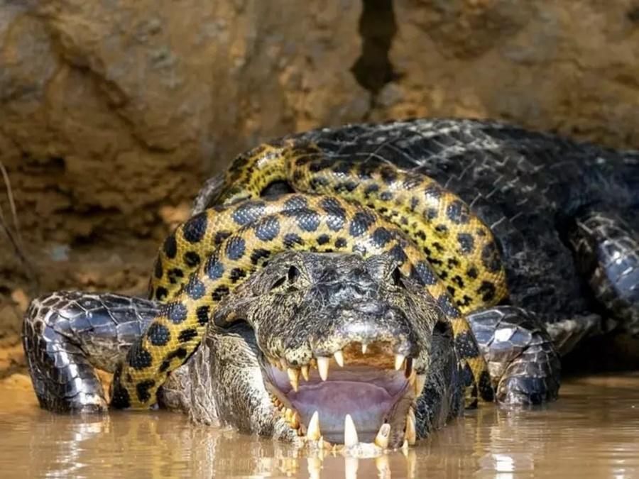 Imagem: jacare e cobra Fotógrafo captura luta entre sucuri e jacaré no Pantanal em Mato Grosso